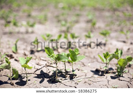 """Near drought conditions challenge spring crops of """"Glycine max"""" sprouts or commonly called soybeans"""