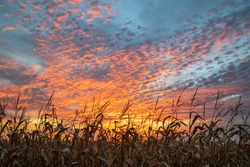 Near harvest time, cornstalks in an Indiana farm cornfield are silhouetted by a dramatic and colorful cloudy sunset sky.