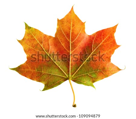 Neat colorful maple leaf on white background, rich in color and detail