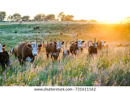 Nebraska Hereford Cattle at Sunset