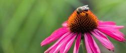 Nectar seeking bumble bees feeding  on dark pink coneflowers, echinacea purpurea, baja burgundy sombrero