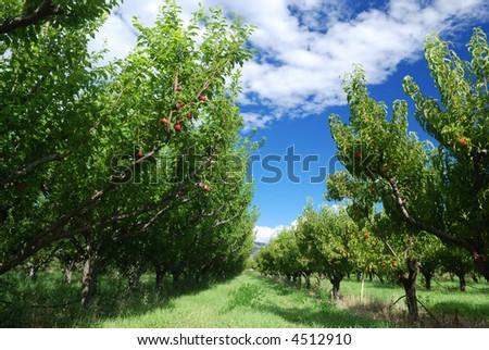 nectarine orchard