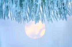 Needle pine tree at sunset