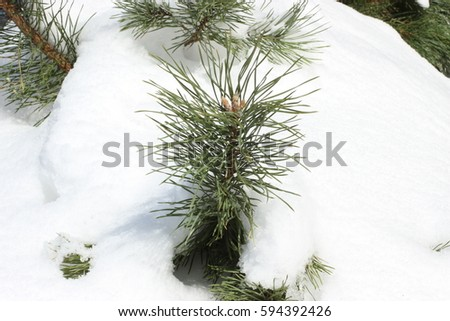 Needles of a coniferous tree through the snow. A sprig of fir in the winter. Green needles and white snow. New Year tree covered with snow. The Christmas tree has brought by white snow. #594392426