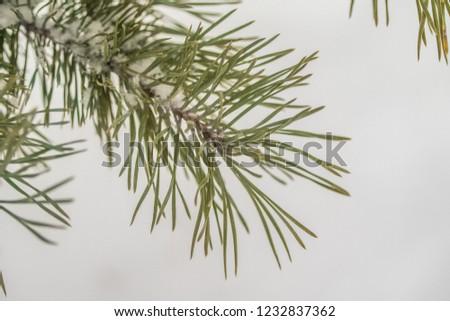 needles spruce snow close up winter #1232837362