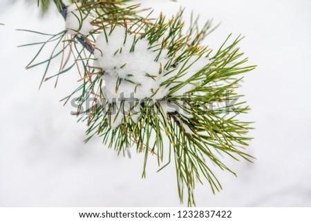 needles spruce snow close up winter #1232837422