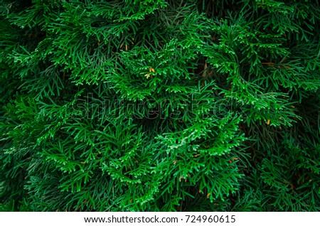 Needles, twigs twigs, green tree, background #724960615