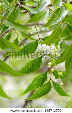 Neem leaves - stock photo