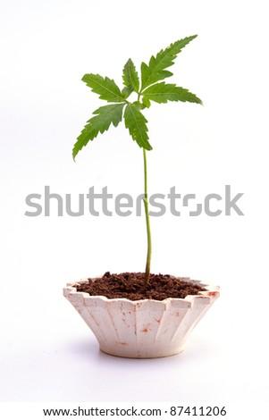 Neem plant against white background