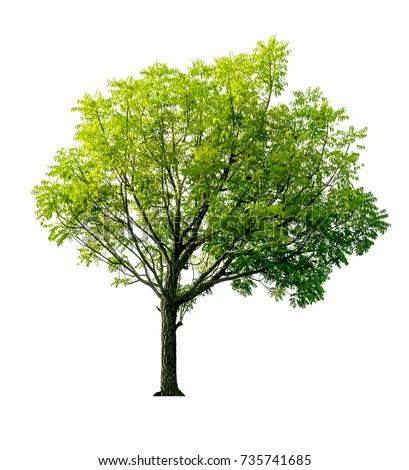 Neem Tree On White Background Free Images And Photos Avopix Com