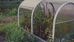 Neglected Abandoned Vegetables  in Private House Garden with Plastic Greenhouse Unripe Tomatoes and Withered Plants