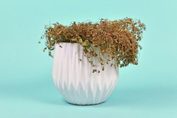 Neglected dried plant with hanging leaves in white flower pot on teal blue background