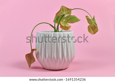 Neglected dying house plant in white flower pot on pink background Stock photo ©