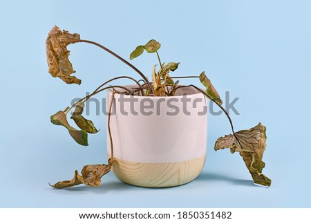 Neglected dying house plant with hanging dry leaves in white flower pot on blue background Stock photo ©