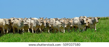 Nellore beef cattle