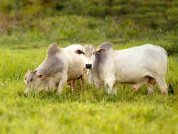 Nellore bull in the pasture of making in Brazil. Main cattle in the production of meat in the Brazilian market. Space for text. Copy space. Selective Focus
