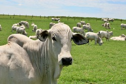 Nellore cattle raised on irrigated Tifton pasture