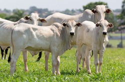 Nellore steers at grazing in the farm