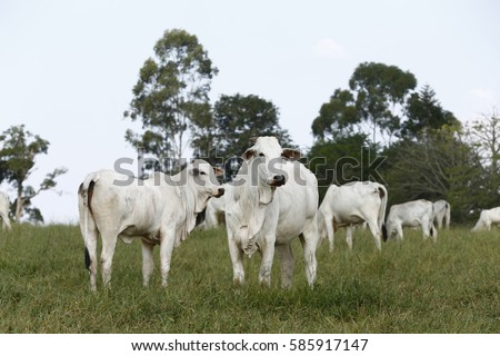 Nelore, bovine originating in India and race representing 85% of the Brazilian cattle for meat production.