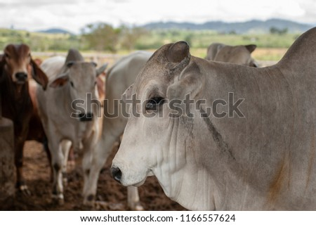 Nelore cattle in Brazil, cow head in the foreground, another cows behind