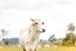 Nelore cattle in fattening production for slaughter. Livestock of Brazil. Space for text.
