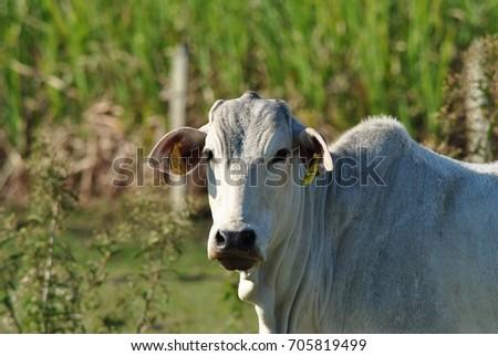 nelore cow #705819499