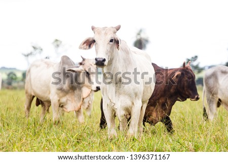 Nelore raised for fattening. Bovine originating in India and race representing 85% of the Brazilian cattle for meat production. #1396371167