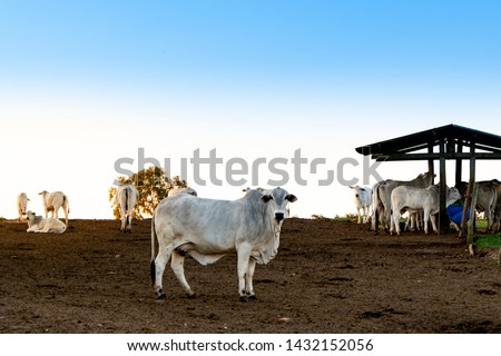 Nelore raised for fattening. Bovine originating in India and race representing 85% of the Brazilian cattle for meat production. #1432152056