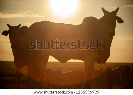Nelore silhouette in sunset day. Bovine originating in India and race representing 85% of the Brazilian cattle for meat production. #1236596995