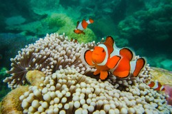 Nemo clown fish in the anemone on the colorful healthy coral reef. Anemonefish couple swimming underwater. Scuba diving coral reef scene with and anemone.