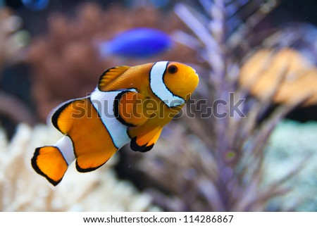 Nemo (clownfish, anemonefish, Amphiprioninae) over blue background