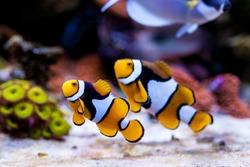 Nemo fish. Amphiprion in Home Coral reef aquarium. Selective focus.