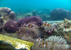 nemo fish and coral reefs on lemukutan island Indonesia