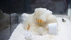Nemo fish in a  aquarium