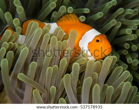 nemo fish in anemone #537578935