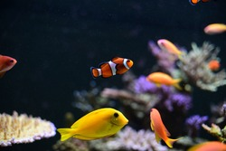 Nemo fish in aquarium for background