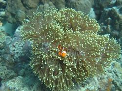 Nemo fish playing in the beautiful sea coral