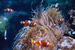 Nemo fish swims in an aquarium near the reef