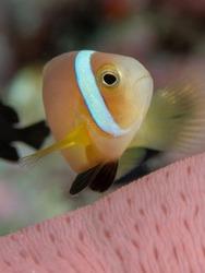 Nemo watching coral on maldives
