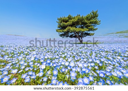 Nemophila, flower field at Hitachi Seaside Park in spring, Japan, selected focus on foregournd