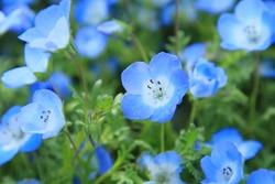 Nemophila?Spring blue flowers