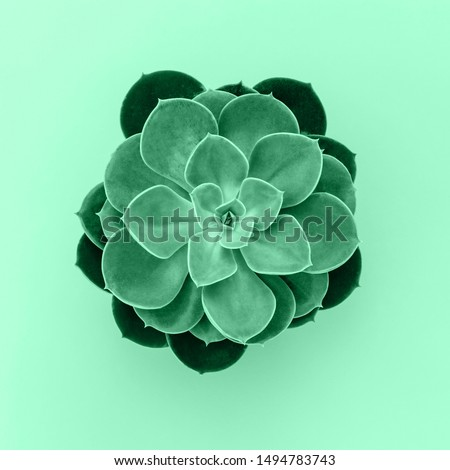 Neo mint color plant, top view. Succulent toned in new mint color. Echeveria Succulent green plant, close up. Seafoam Green, Pale green, cyan, quiet wave with Succulent flower.