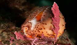 Neobernaya spadicea, Chestnut cowrie at Golf Ball Reef