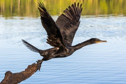 Neotropic cormorant - olivaceous cormorant (Phalacrocorax brasilianus) breaking into flight.