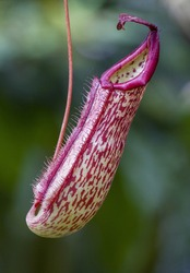Nepenthes (pitcher plant) tropical carnivorous plant or monkey cups. Carnivorous pitcher plant jungle bugs eater (nepenthes) on nature green background in Malaysia. Insectivorous carnivores flower.