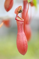 Nepenthes with fly