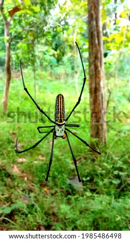 Nephila pilipes (northern golden orb weaver or giant golden orb weaver) is a species of golden orb-web spider. It resides all over countries in East and Southeast Asia as well as Oceania.