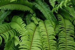 Nephrolepis cordifolia, is a fern native to northern Australia and Asia. It has many common names including fishbone fern,tuberous sword fern,tuber ladder fern, erect sword fern, and narrow sword fern