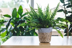 Nephrolepis exaltata (Boston fern, Green Lady) on wooden table with copy space. Nice and modern space of home interior. Cozy home decor. Home garden.