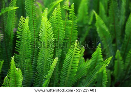 Nephrolepis exaltata (The Sword Fern) - a species of fern in the family Lomariopsidaceae #619219481